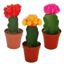 3 different colored cacti in a set, 5,5cm pot, ca....