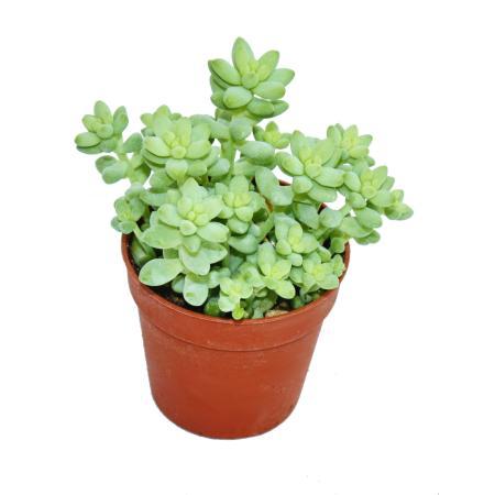 Sedum morganianum burritum - Donkey Tail - Burros Tail - 5,5cm Pot