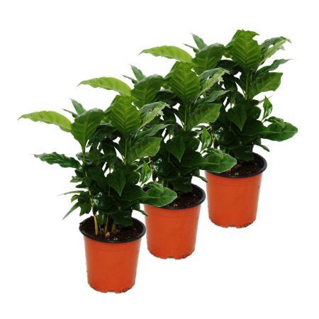 Coffee Plant (Coffea arabica) - 3 Plant - Houseplant