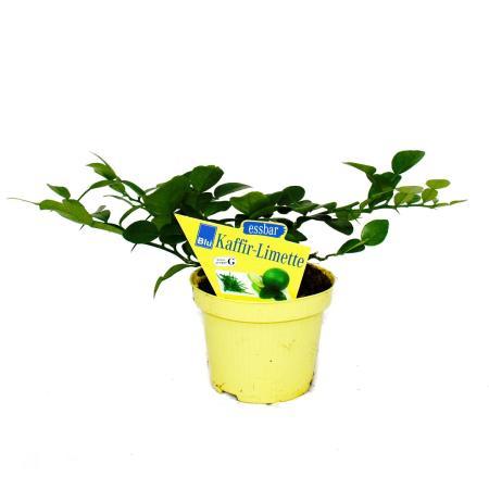 Kaffir lime - Citrus hystrix - 2 plants - Kaffir lime spice plant