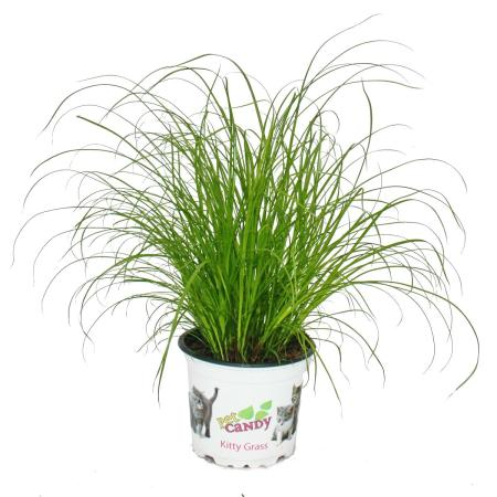 Cat Grass - Cyperus Alternifolius - 3 Plants - to support the digestion of cats
