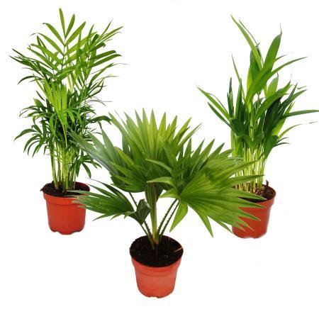 Room palms - Set of 3 - Mountain palm (Chamaedorea) - Fan palm (Livistona) - Areca (Gold fruit palm)