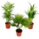 Room palms - Set of 3 - Mountain palm (Chamaedorea) - Fan...
