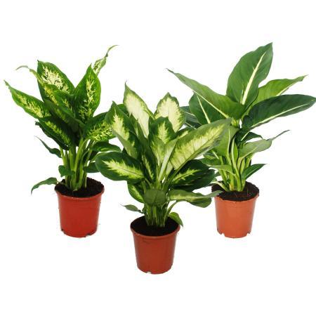 Dieffenbachie 3er set mit 3 versch sorten for Ausgefallene zimmerpflanzen