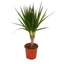 Dragon tree - Dracaena marginata - 1 plant - easy-care...