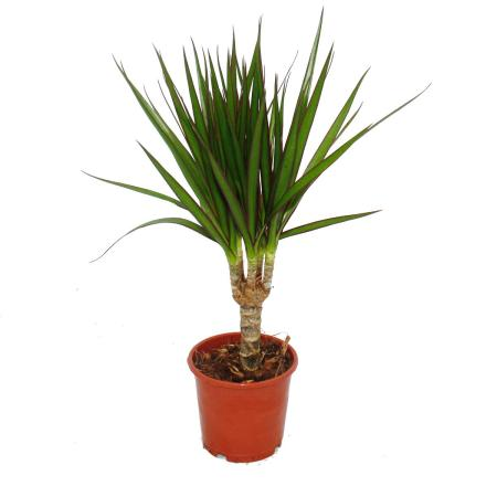 Drachenbaum - Dracaena marginata - 3 Pflanze - pflegeleichte Zimmerpflanze - Palme