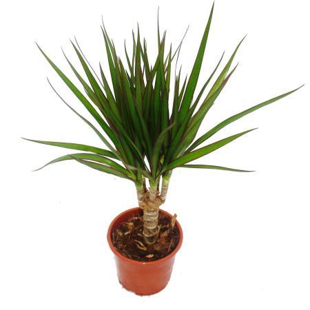 Drachenbaum - Dracaena marginata - 3 Pflanze - pflegeleichte Zimmerpf