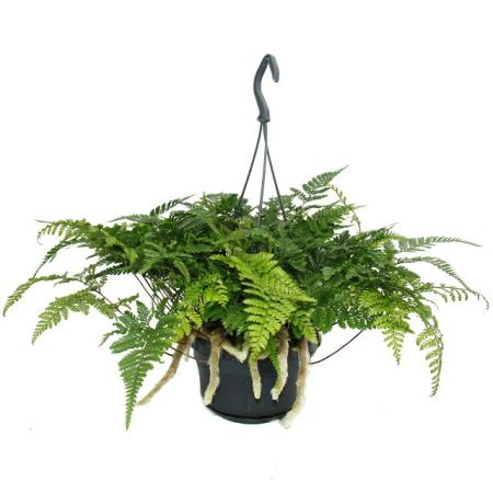 Tarantel-Farn, Vogelspinnen-Farn, Spinnenfarn, Humata tyermannii, Davallia, Zimmerpflanze, 14cm Ampel-Topf zum Hängen