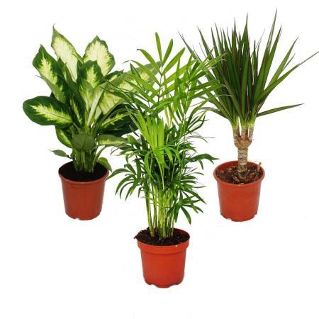 Zimmerpflanzen-Mix II 3er Set, 1x Dieffenbachia, 1x Chamaedorea (Bergpalme) 1x Dracena marginata (Drachenbaum), 10-12cm Topf