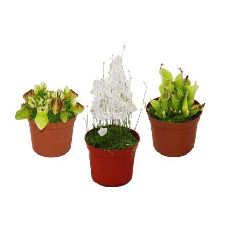 Rarity set carnivorous plants - 3 plants