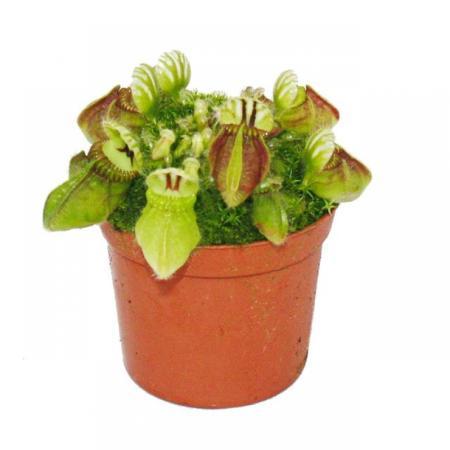 Fleischfressende Pflanze - Zwergkrug - Cephalotus follicularis - 9cm Topf - Rarität