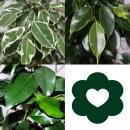 Ficus Benjamini - Set of 3 - Danielle - Anastasia - Twighlight 12cm pot