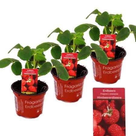 Himbeer-Erdbeere - Set mit 3 Pflanzen - Fragaria - Ausgefallene Sorte für Liebhaber des Besonderen