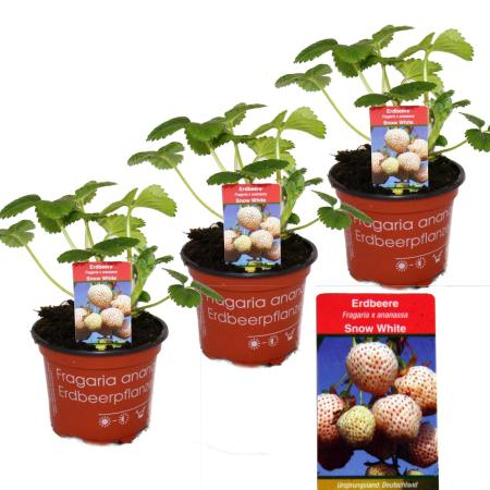 """White Strawberry """"Snow White""""- Set of 3 Plants - Fragaria - Unusual Variety for the Connoisseur of the Unusual"""