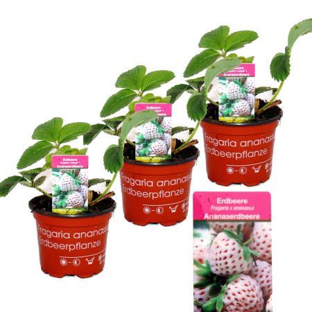 White Pineapple-Strawberry - Fragaria ananassa - Set with 4 plants