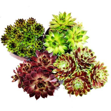 Sempervivum - Set of 4 different plants