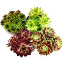 Sempervivum - Set of 4 different plants