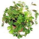 """Mimose """"Rühr-Mich-Nicht-An"""" - Die Pflanze, die auf Berührung reagiert - 9cm Topf"""