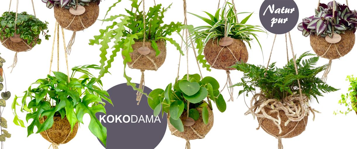 Kokodama - NATUR PUR !!!